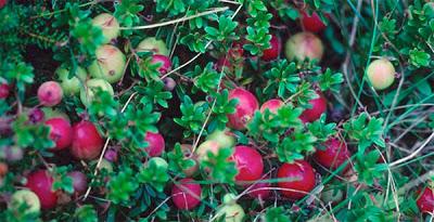 Working Lands Enterprise Initiative Vermont Cranberry Company